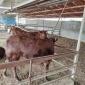 供应利木赞牛 利木赞牛活体肉牛 利木赞牛牛犊