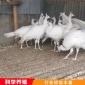 动物园观赏白孔雀 易养殖白孔雀 特种珍禽白孔雀 养殖基地