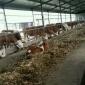 哪里可以买到杂交肉牛 改良牛犊多少钱黄牛一般什么价位。