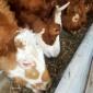 改良西门塔尔犊 肉牛犊 价格便宜 以质论价 西门塔尔牛养殖场出售