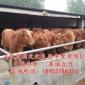 广西肉牛养殖基地-肉牛养殖技术-鲁西黄牛价格【免费运输】