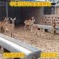 种梅花鹿价格 华仁特种珍禽养殖场 小梅花鹿价格