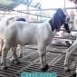 育肥波尔山羊 波尔山羊羊苗 散养波尔山羊易养殖