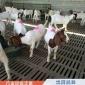 农家散养波尔山羊 育肥波尔山羊 波尔山羊羊苗 养殖出售