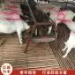 波尔山羊羊羔 体波尔山羊 育肥波尔山羊厂家价格