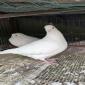 鸽蛋,乳鸽,肉鸽,种鸽
