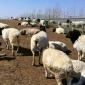 常年供应杜泊绵羊羊羔 黑头杜泊绵羊 活体杜泊羊种羊